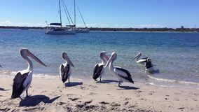 Playful Pelicans on the beach on a sunny afternoon with blue skies, sparkling water and luxury yachts