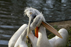 Playful pelicans. Stock Photo