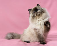 Playful persian seal tortie colorpoint cat Royalty Free Stock Photo