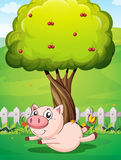 A playful pig under the cherry tree Royalty Free Stock Photo