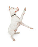 Playful Pit Bull Dog Over White Royalty Free Stock Image