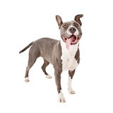 Playful Pit Bull Tongue Out Stock Images