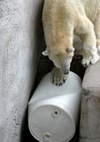 Playful Polar Bear Stock Images