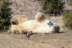 Playful Polar Bear. A polar Bear rolling around on the ground sticking out his tongue Royalty Free Stock Photography