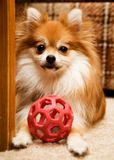 Playful Pomeranian Stock Image