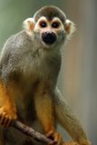 Playful Primate. Cute Squirrel Monkey on a tree branch against a blurred background Royalty Free Stock Image
