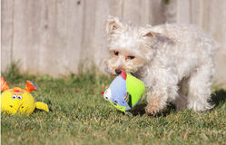 Playful Pup with Toys Stock Image