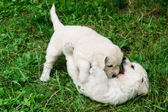 Playful puppies Stock Photos