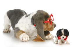 Playful puppies royalty free stock images