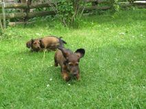 Playful puppies of Dachshund in the garden. Photo of two playful puppies Dachshund in the garden in the grass Royalty Free Stock Image