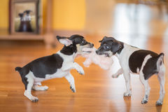 Playful puppies Stock Images