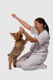 Playful puppy. Young female brunette woman wearing medical uniform with a playful jumping small dog Stock Image