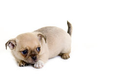 Playful Puppy Royalty Free Stock Photos
