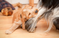 Playful Puppy. Playful spaniel puppy biting the leg of a larger dog Stock Photo