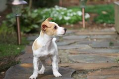Playful puppy. An adorable Jack Russell puppy ready and waiting to play outside royalty free stock images