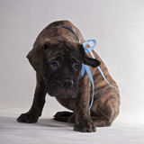 Playful puppy Royalty Free Stock Image