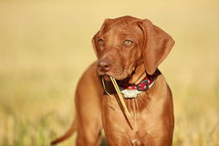 Playful puppy. Rhodesian ridgeback liver nosed puppy Royalty Free Stock Photography