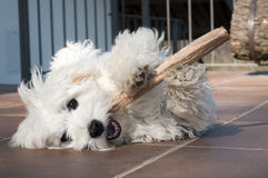 Playful puppy. Little dog maltese breed playing with stick Royalty Free Stock Images