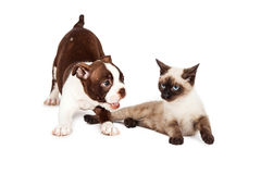 Playful Puppy and Annoyed Kitten Stock Image