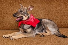 Playful puppy big dog. Lying on the couch Royalty Free Stock Photos