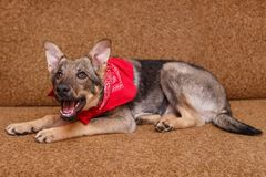 Playful puppy big dog. Lying on the couch Royalty Free Stock Photography