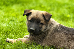playful puppy dog Royalty Free Stock Images