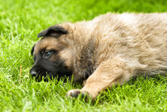 playful puppy dog Stock Images