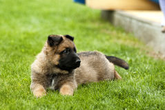 playful puppy dog Royalty Free Stock Photos