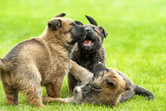 playful puppy dog Royalty Free Stock Photography