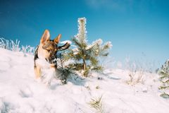 Playful Puppy Dog Playing Running In Snowy Forest In Winter Day stock images