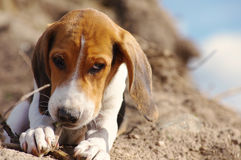 Playful puppy of the Estonian hound gnaws a branch on a heap of sand Stock Image