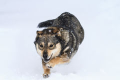 Playful puppy fun runs and jumps in the snow in the Park Royalty Free Stock Images
