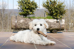 Playful puppy. Little dog maltese breed playing with stick Stock Photo