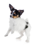 Playful puppy papillon Royalty Free Stock Images