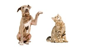 Playful puppy pitbull and cat Scottish Straight. Sitting  together isolated on white background royalty free stock photo