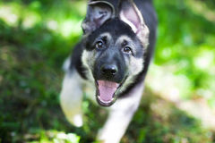 Playful puppy runing. Blurred motion Royalty Free Stock Images