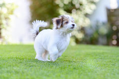 Playful puppy running in vibrant summer park. A cute, playful puppy caught in motion while running on vibrant green grass in a summer park Royalty Free Stock Images