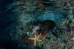 Playful puppy sea lion seal underwater holding seastar. Puppy sea lion seal coming with a sea star in mouth to play Royalty Free Stock Photos