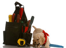 Playful puppy with work tools Stock Image