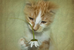 Playful Puss. Kitten playing with a daisy in textured effect stock illustration