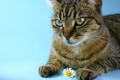 Playful Puss. Pussy cat playing with daisy flower against blue background Royalty Free Stock Photos