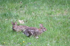 Playful rabbits Royalty Free Stock Images