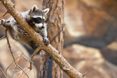 Playful Raccoon. A playful raccoon in a tree in an outdoor environment Stock Images