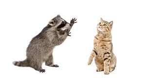 Playful raccoon and curious cat Royalty Free Stock Images