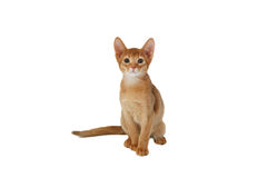 Playful red cat Stock Photography