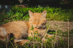 Playful red cat playing in the green grass Stock Images