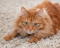 Play with me. Playful red fluffy cat lying on a carpet stock photography
