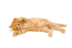 Playful red kitten Stock Photography