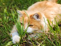 Playful red kitten in the grass Royalty Free Stock Photography