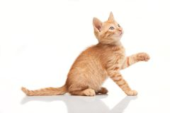 Playful red kitten looking up, trying to catch something Royalty Free Stock Images